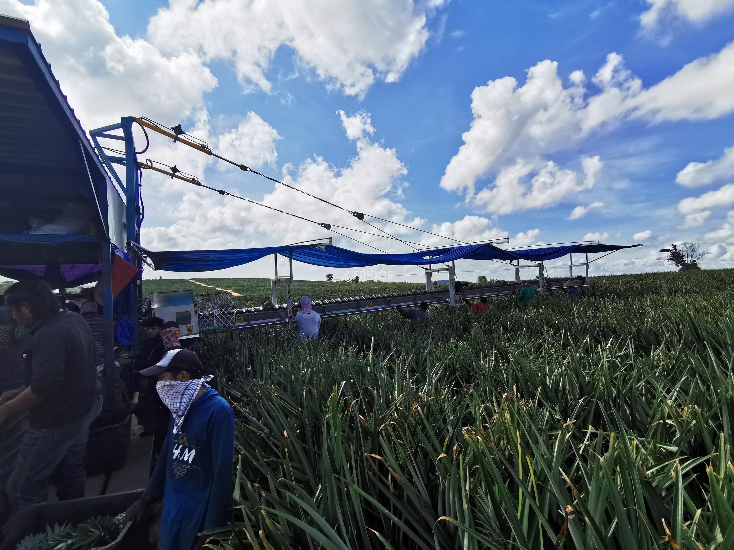 Pineapple harvesting