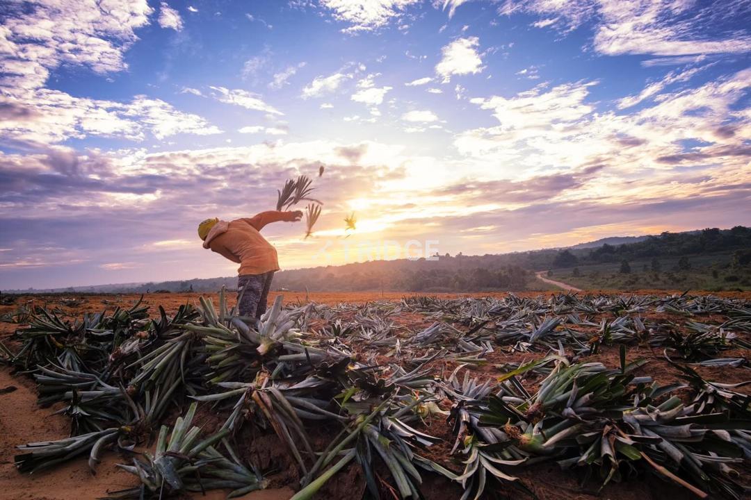 ROMPINE Pineapple Plantation
