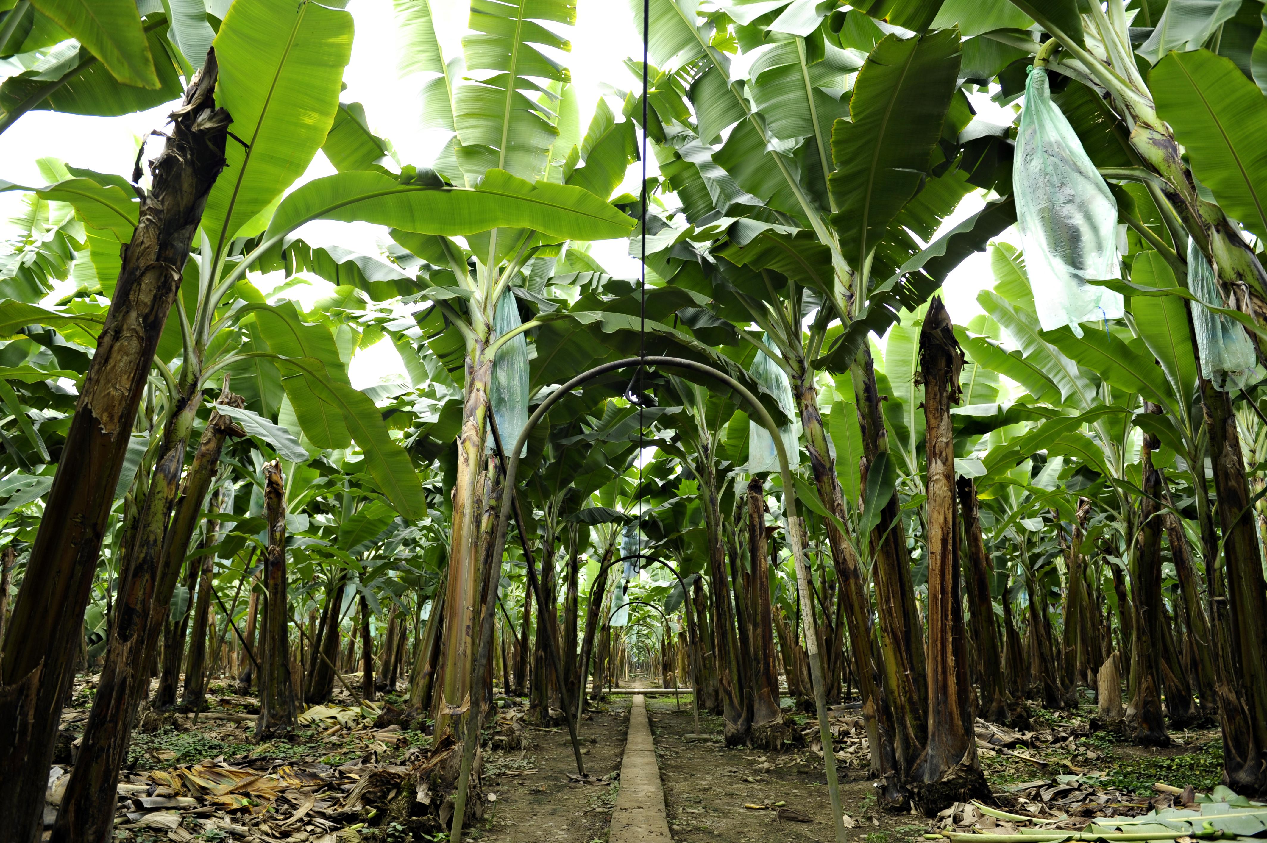Ecuador Fresh Banana - _SRN1876_edit.jpg