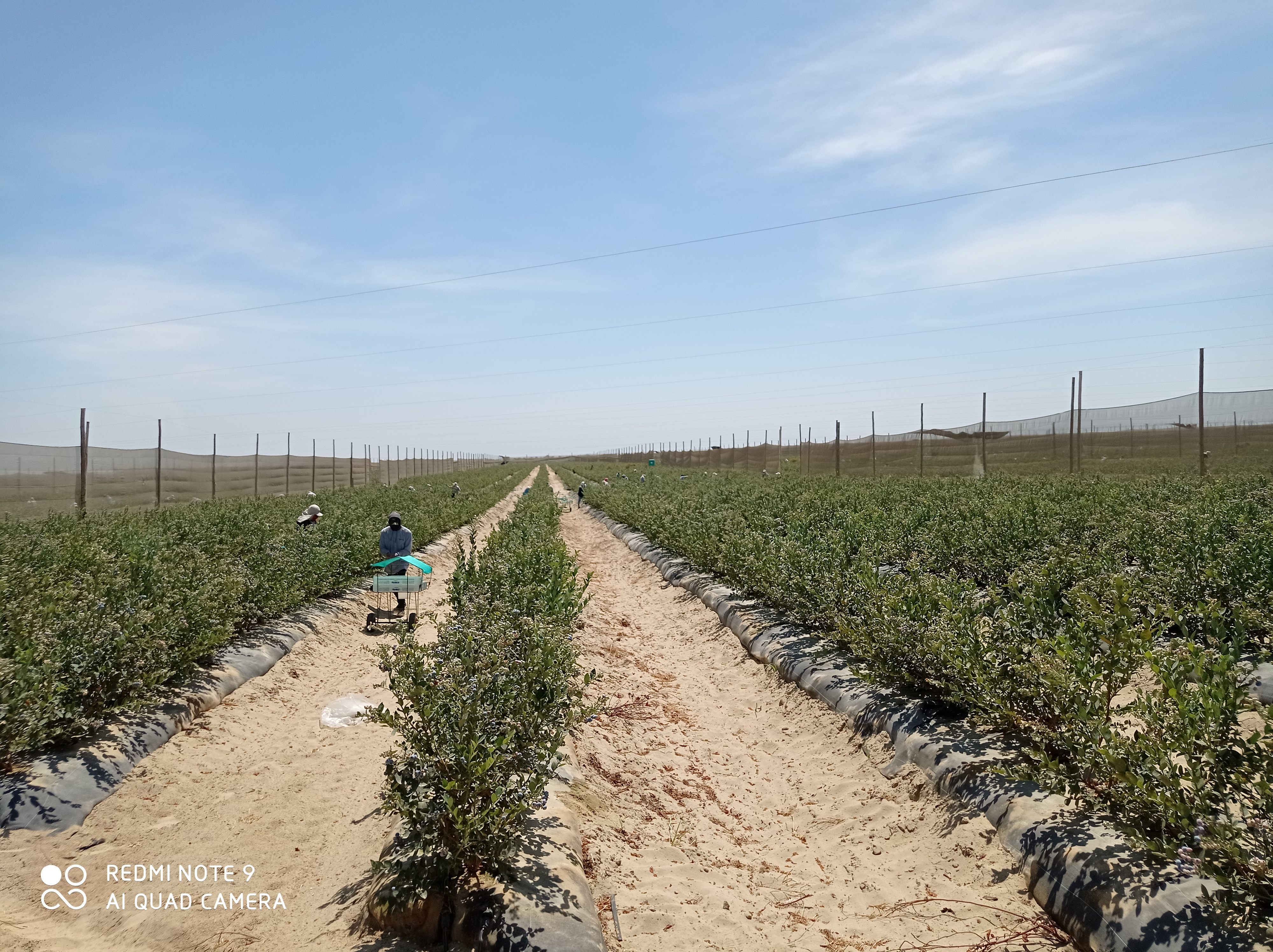 Peru Fresh Blueberry - IMG_20210803_124713.jpg