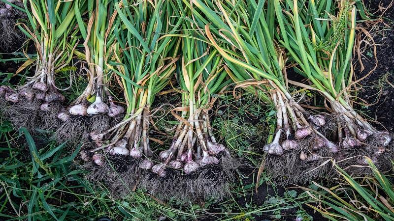 China Fresh Common Garlic - CNgarlicplantation1.jpg