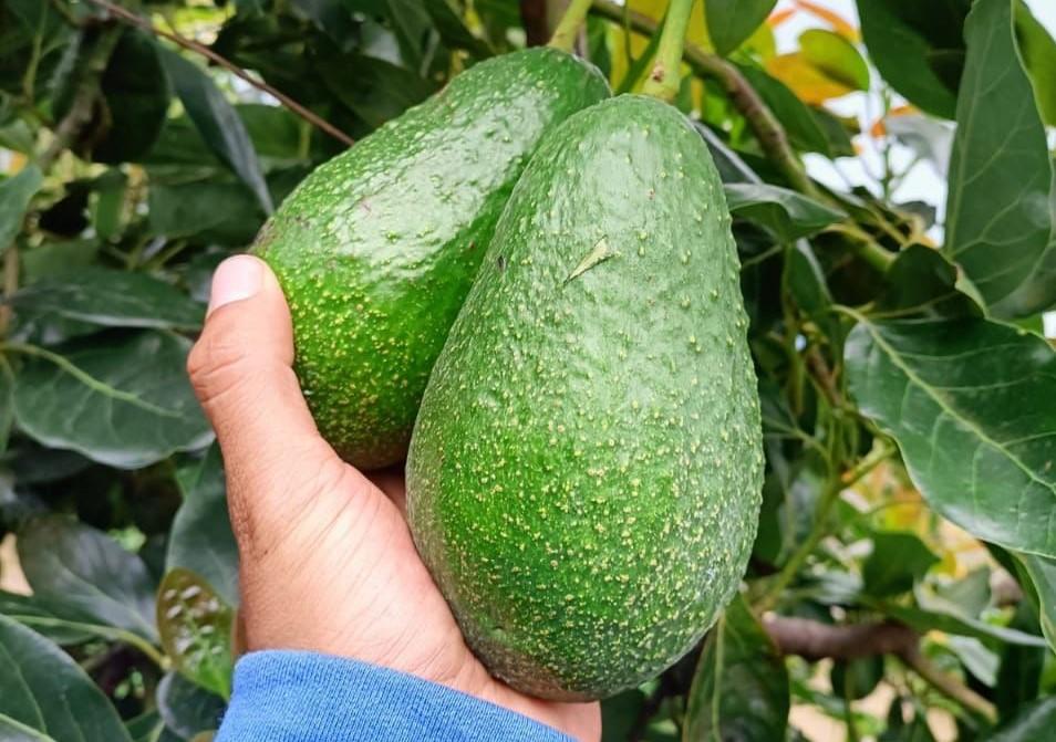 Mexico Fresh Avocado - Mexico-Avocado-776819.jpeg