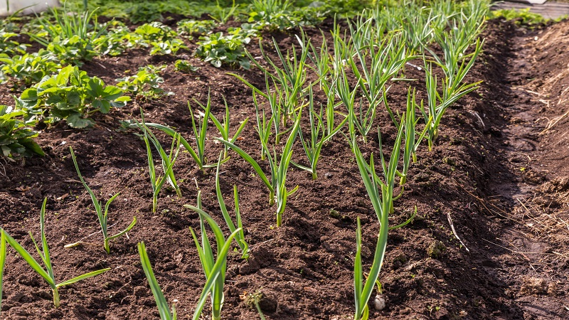 China Fresh Common Garlic - CNgarlicplantation.jpg