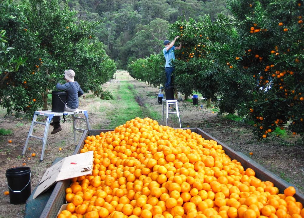 Australia Fresh Orange - Harvest1.jpg