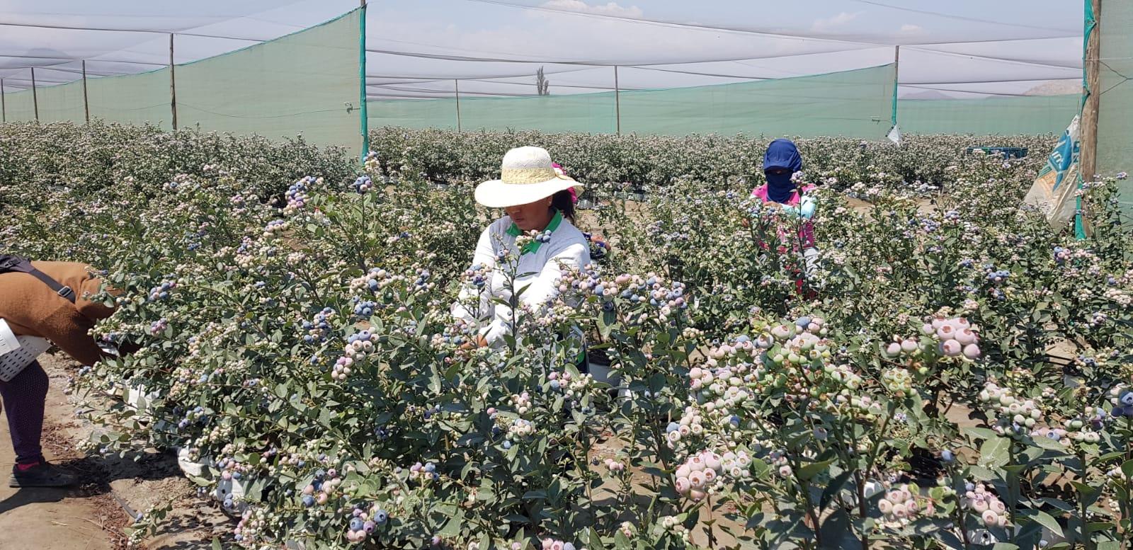 Peru Fresh Blueberry - WhatsApp_Image_2021-09-10_at_14.31.36_2.jpeg