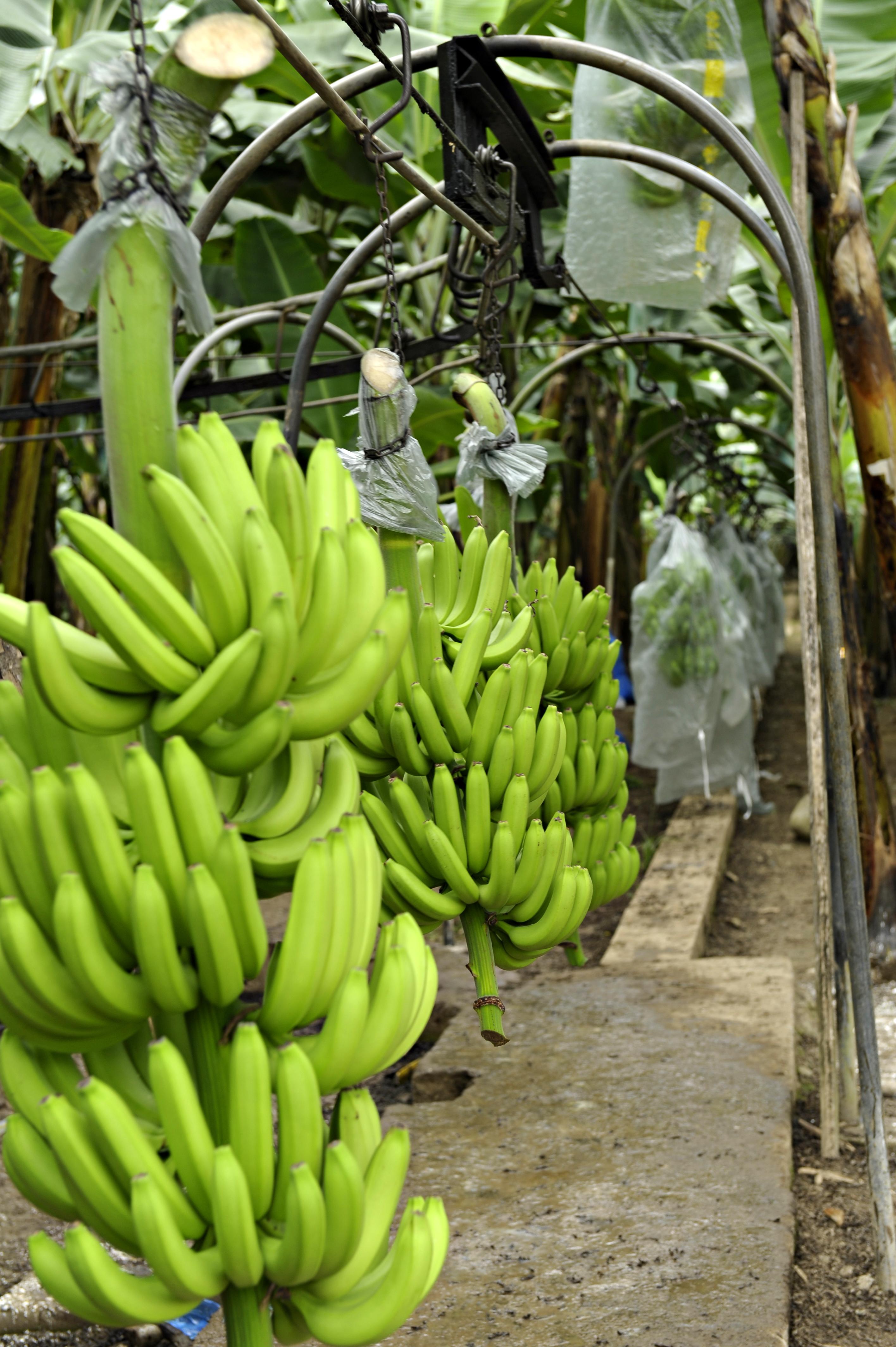 Ecuador Fresh Banana - _SRN1785_edit.jpg