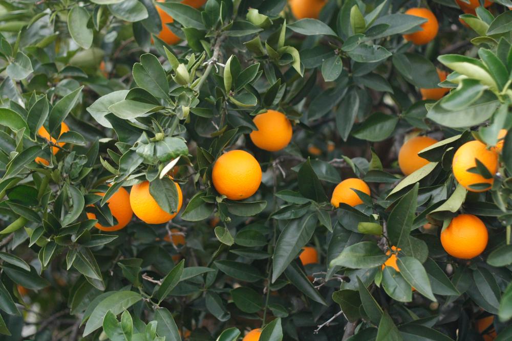 Australia Fresh Orange - Harvest2.jpg