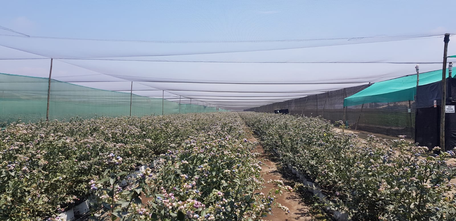 Peru Fresh Blueberry - WhatsApp_Image_2021-09-10_at_14.31.37_2.jpeg