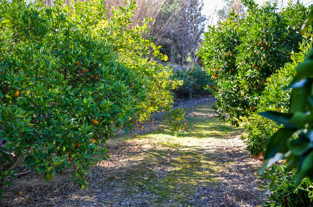 Australia Fresh Orange - Harvest3.jpg
