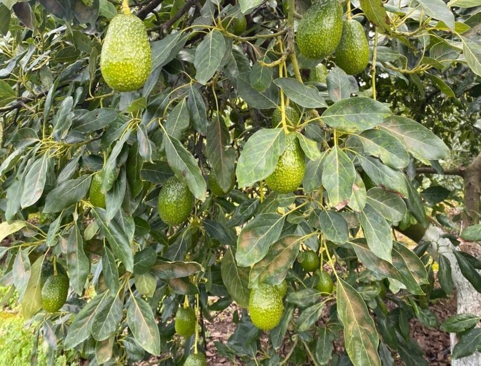 Mexico Fresh Avocado - Mexico_Avocado_Orchard_Pronicoha.jpeg