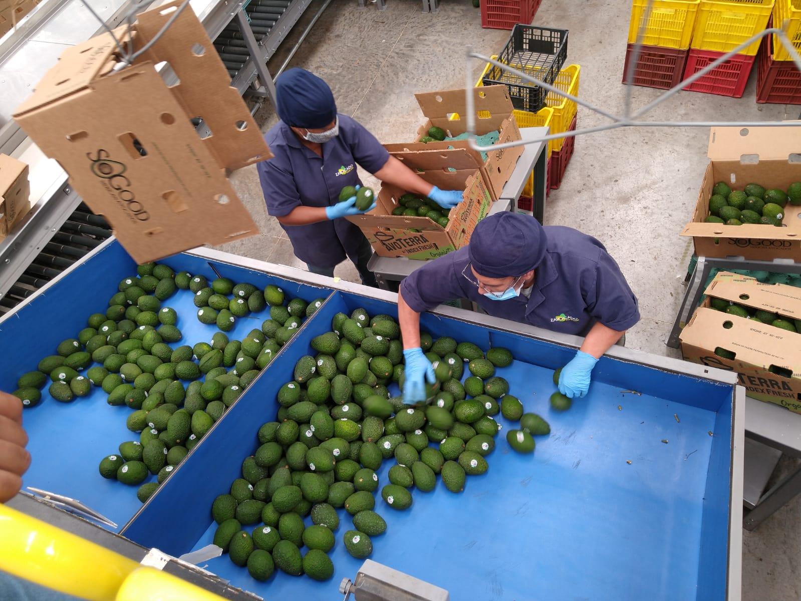 Mexico Fresh Avocado - Zavocado_Avo_3.jpeg