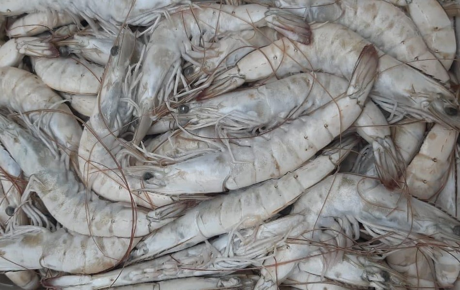 Ecuador Fresh Vannamei Shrimp - Shrimp_Vannamei.jpeg