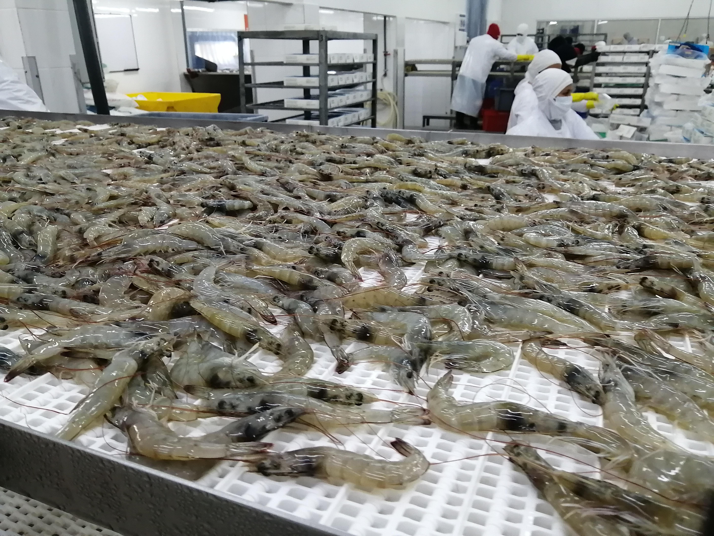 Ecuador Fresh Vannamei Shrimp - Shirmp_3.jpeg