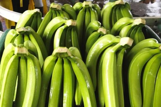 Ecuador Fresh Banana - %EC%BA%A1%EC%B2%98.JPG