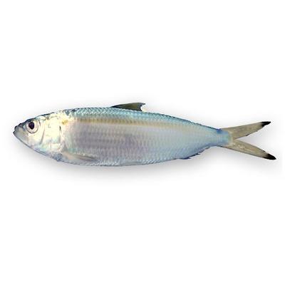 Market intelligence of Sardine in the Spain