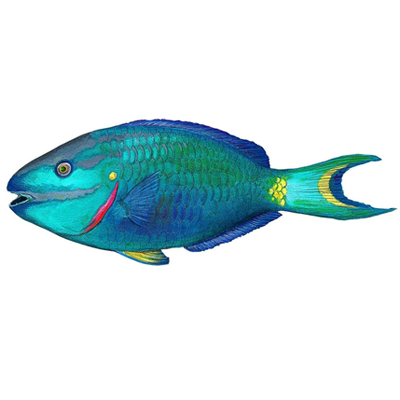 Indonesia Gulf Parrot Fish suppliers, exporters, and manufacturers
