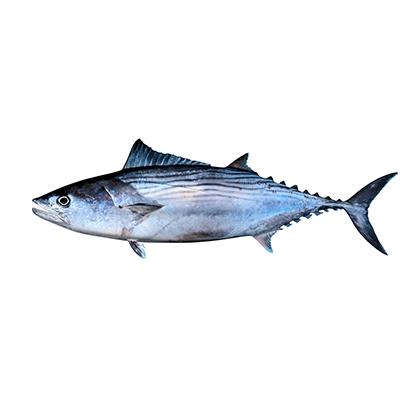 Market Intelligence of Pacific Bluefin Tuna in South Korea