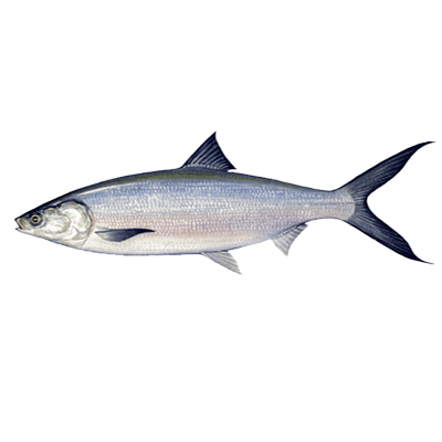 Market intelligence of Milkfish in the Indonesia